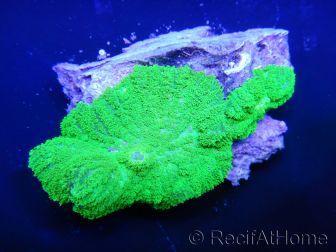 WYSIWYG - Rhodactis inchoata vert fluo NC5