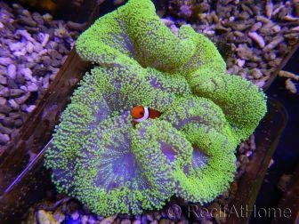 Stichodactyla haddoni ULTRA vert fluo