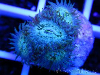 Zoanthus Hawaian PE 5 polypes