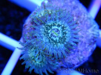 Zoanthus Hawaian PE 3 polypes
