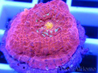 Echinophyllia Red Volcano Chalice