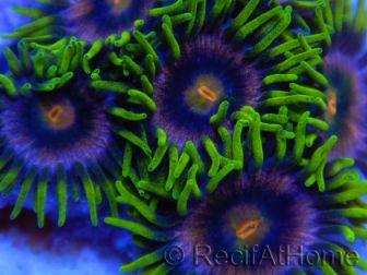 ZOA PG ULTRA +de 5 polypes