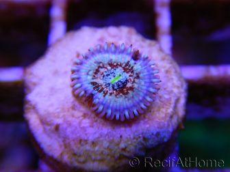 Seduction ultra 1 polype Zoanthus