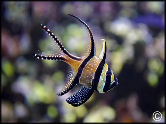 Pterapogon kauderni Elevage