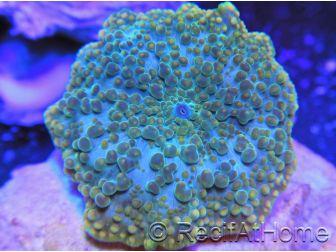 Discosoma Goldring bubble au polype