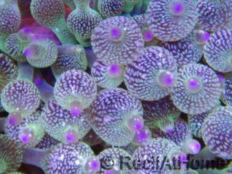 Entacmea rare Ultra Pointes violettes