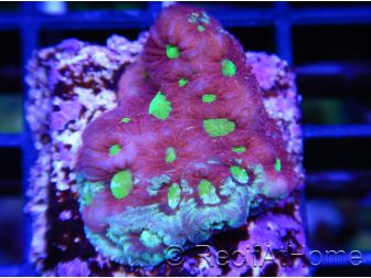 Favites WarCoral ultra S
