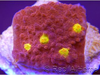 Echinophyllia Blood Treasure chalice Ultra S