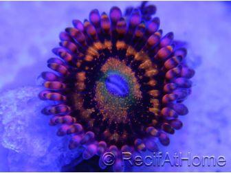 Alien Antinvenom ultra 1 polype zoanthus
