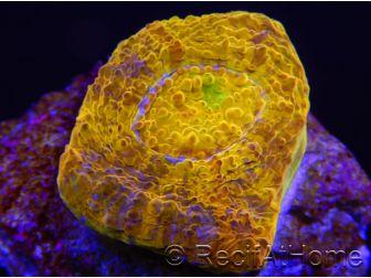 Chalice Goldmine Echinopora spp ultra S