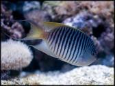 Genicanthus melanospilos mâle