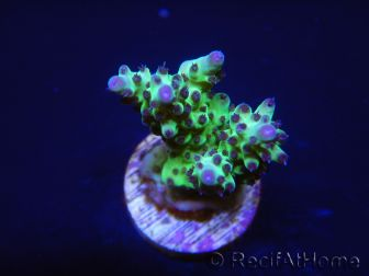 Acropora Super Power