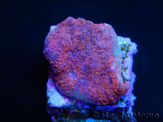 Echinophyllia  Mean Red chalice
