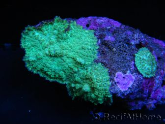WYSIWYG Rhodactis Green L