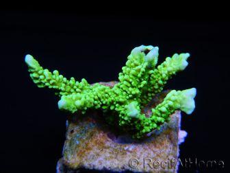 WYSIWYG Montipora stellata 1