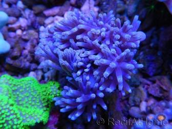 Cespitularia sp blue M