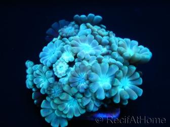 Alveopora sp Bleu S