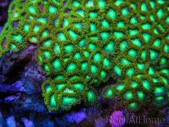 Green Lantern Zoanthus + de 8 polypes