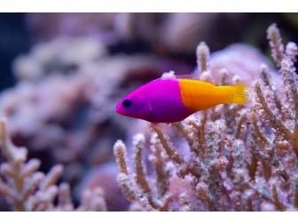 Pictichromis paccagnellae (ex : Pseudochromis paccagnellae)