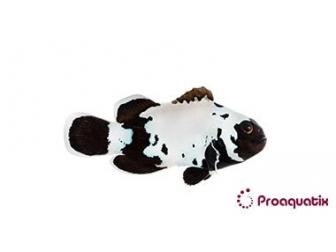 Amphiprion Prem. Black Snow Elevage USA PROAQUATIX