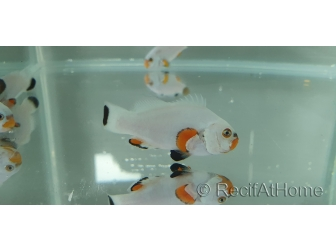 Amphiprion ocellaris platinium élevage Bali aquarich