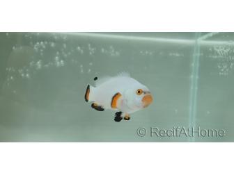 Amphiprion percula platinium élevage Bali aquarich