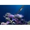 Tweezers - Pince pour coraux Maxspect