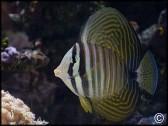 Zebrasoma desjardinii mer rouge