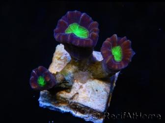 Caulastrea Ultra