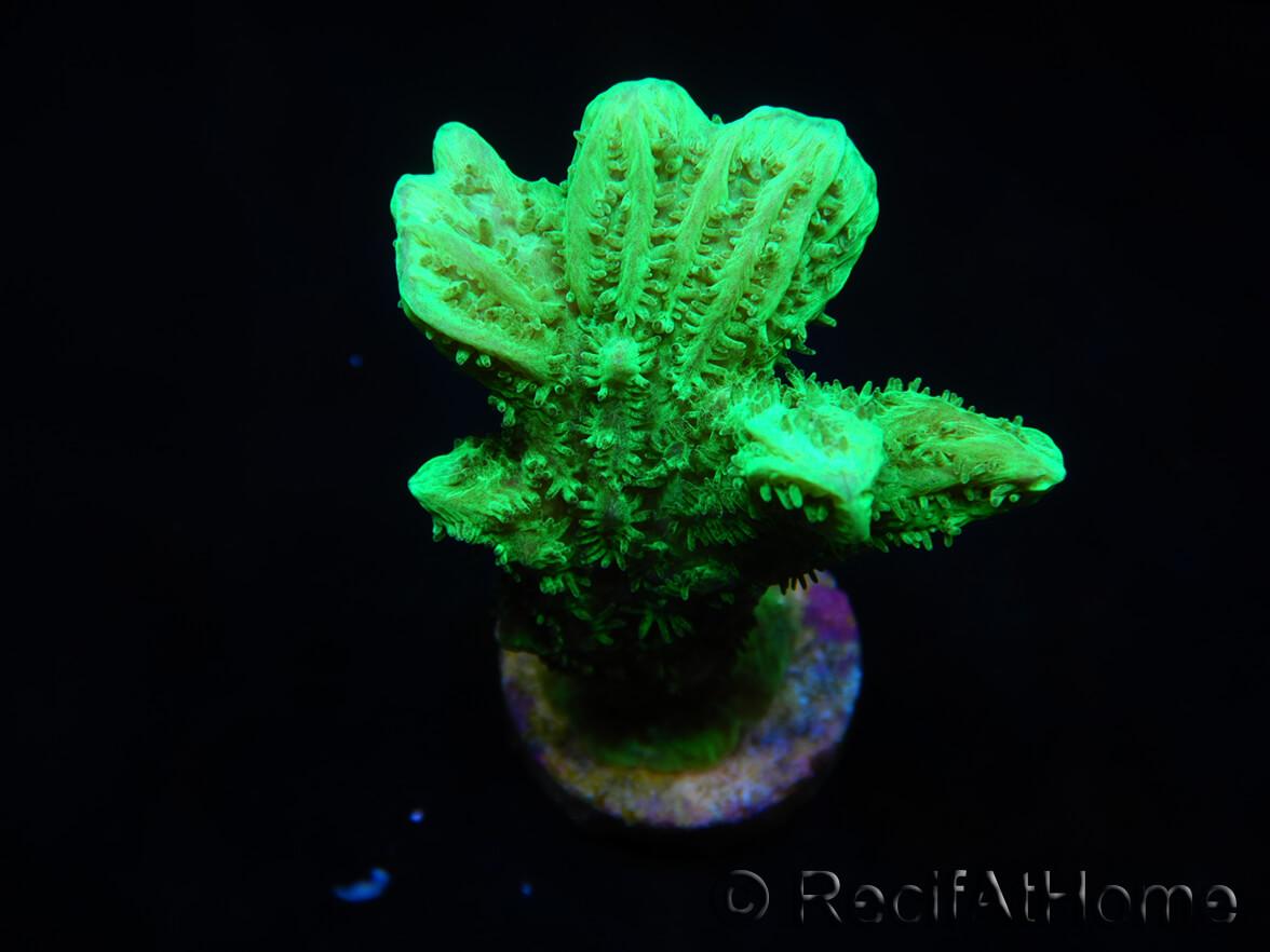 Hydnophora rigida S