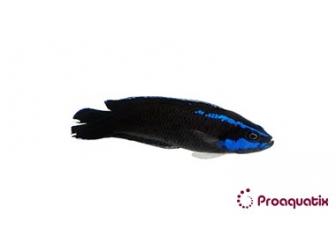 Pseudochromis springeri Proaquatix