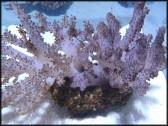 Alcyonium sp.