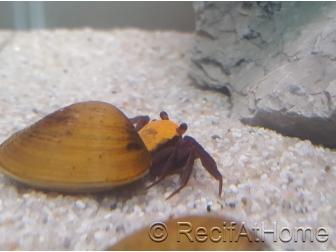Crabe vampire