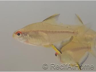 Tetra Citron - Hyphessobrycon Pulchripinnis