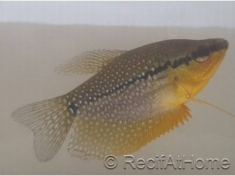 Gouramis - Trichogaster lerry