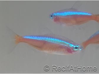 Neon cardinalis - Paracheirodon axelrodi