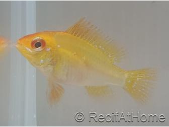 Ramirezi gold - Mikrogeophagus ramirezi Taille L (3.5-4 cm)