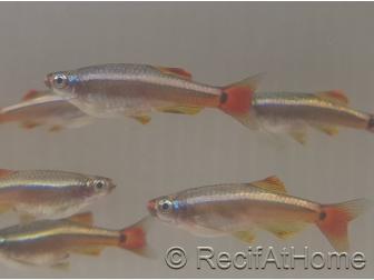 Néon chinois - Tanichthys albonubes