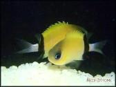 Chromis retrofasciata