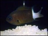 Chromis bicolor