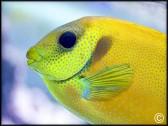 Siganus corallinus