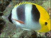Chaetodon ulientensis