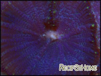 Rhodactis inchoata violet S