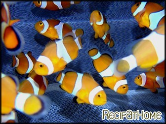 Amphiprion ocellaris Elevage FRANCE