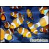 Amphiprion ocellaris poissons clowns élevage