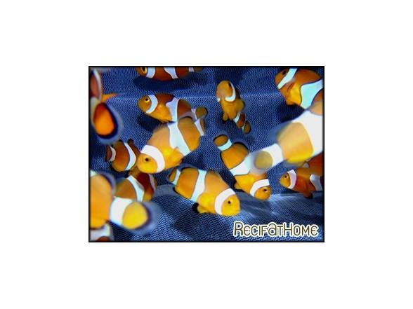 Amphiprion ocellaris poissons clowns vpc recifathome for Poisson vpc