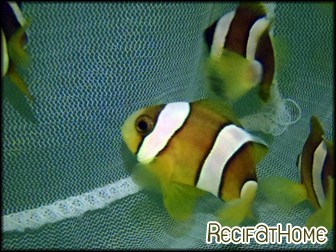 Amphiprion clarkii Elevage FRANCE