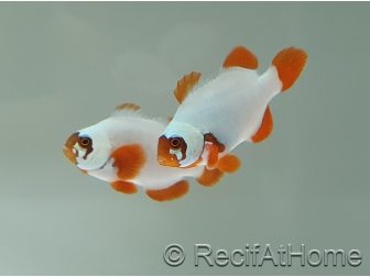 Premnas Lightning maroon White élevage Bali aquarich