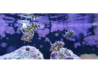 Acreichthys tomentosus ELEVAGE France M MERS