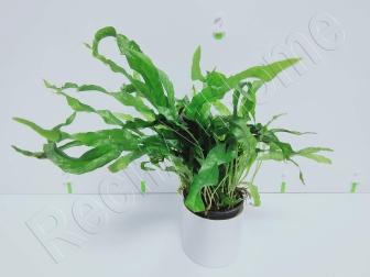 Microsorium pteropus mini  plante eau douce